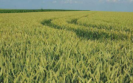 Productia de cereale nu este afectata de seceta